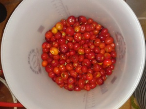 Ferment bucket rose hip wine