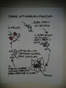 How flowers fruit circle of life diagram