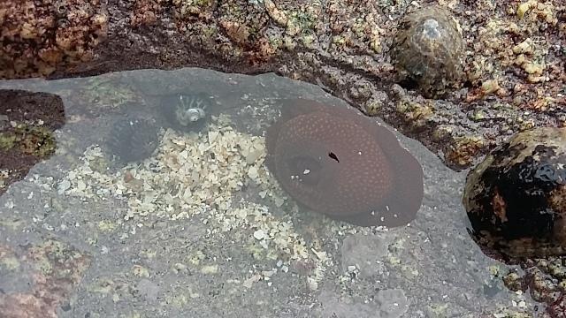 Rock pool life anemone seaweed picking