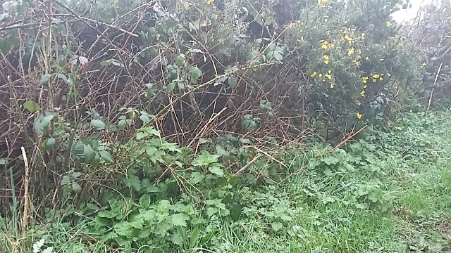 Foraging nettle tea walking hedgerows Cornwall