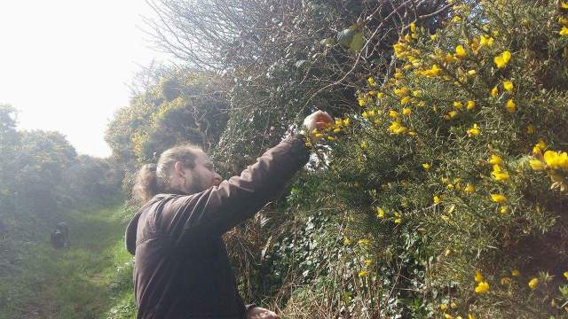 Flowering gorse hedgerows syrup recipe